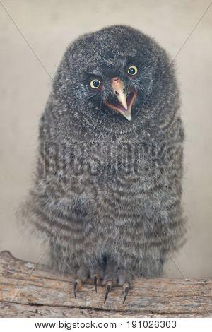 Great grey owl (Strix nebulosa).