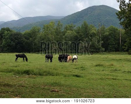 Horses out to pasture in Cades Cove.