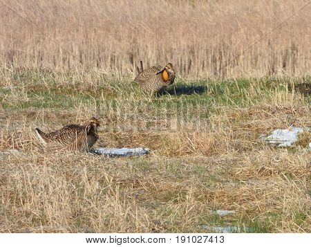 Two Prairie Chickens during mating season. Probably a Male  and a hen.