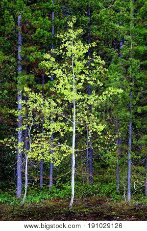 Aspen birch tree in forest with green growth