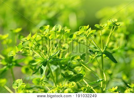Blooming Cypress spurge (Euphorbia cyparissias) close up.