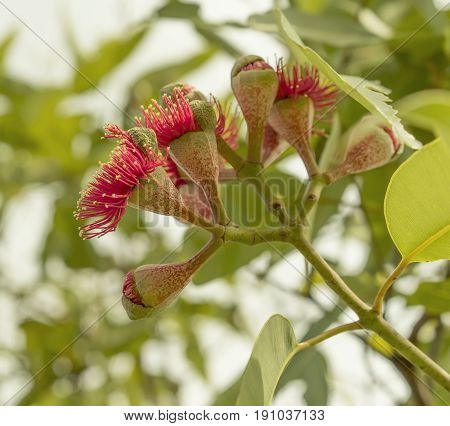 Reproduction flowering stage of Australian gumnuts of the iconic red flower gumtree Eucalyptus ptychocarpa