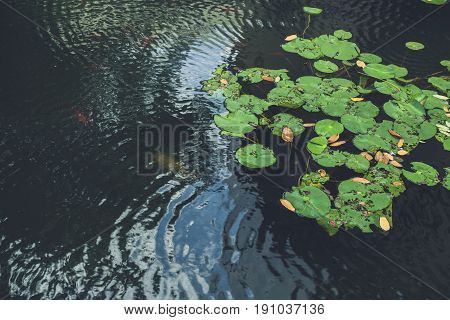 Green Nature Swamp With Water Plant Lilly Pad.