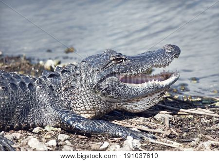 Young alligator basking near lake with its mouth open