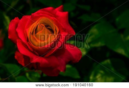 Red Rose On Green Blurred Background