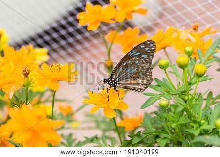 Black Butterfly Catch On Yellow Cosmos Flowers.