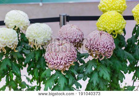 Kiku Flower Or The Chrysanthemum Or The Flower Of Autumn In Japan.
