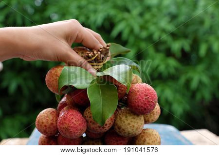 Bunch Of Litchi Fruit Or Lychee Fruits