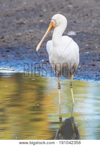 A Yellow-Billed Spoonbill (Platalea regia) wading in a lake in Perth Western Australia.