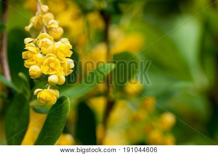 A close up of the blooming barberry Berberis amurensis. Selective focus, shallow DOF.