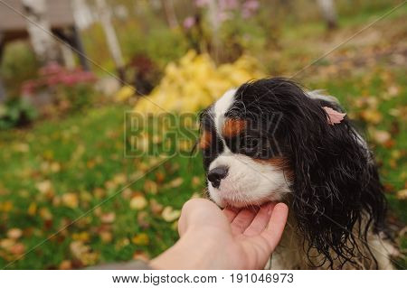 wet and dirty cavalier king charles spaniel dog after the walk in autumn sitting on the lawn
