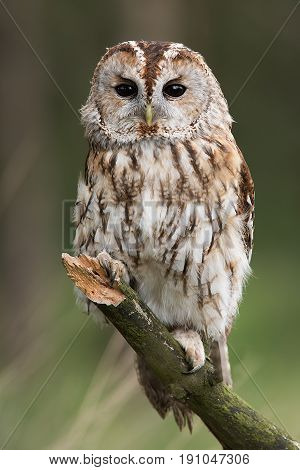 A very close full length portrait of a tawny owl facing forward and perched on a branch in upright vertical format
