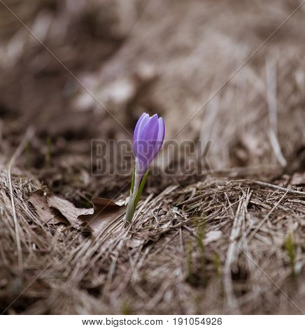 Beautiful Purple Wild Crocus Flowers On A Natural Background In Spring. Mala Fatra Mountains In Slov