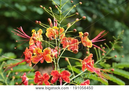 Dwarf Poinciana is a beautiful flower in thailand.