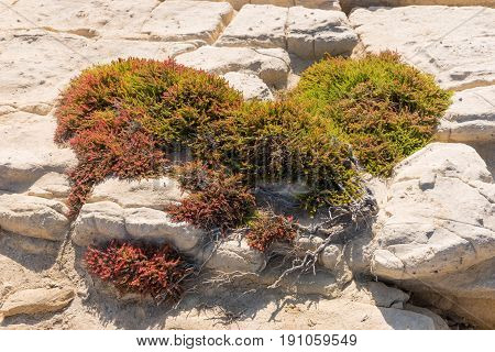 Bush of a colorful heather (Erica) on the rocks