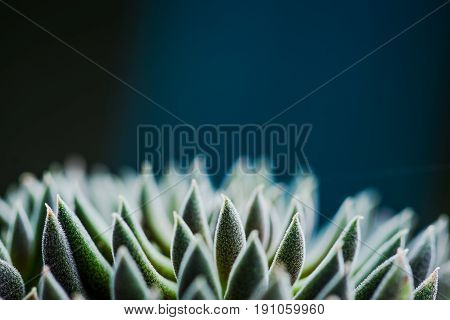 Close Up View Of Symmetry Succulent Plant On Black Desk