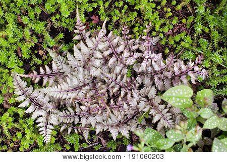 Athyrium niponicum 'Silver Falls' herbaceous fern in the garden. Selective focus.
