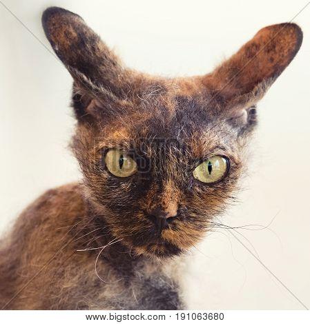 The cat breed Cornish Rex cat close-up
