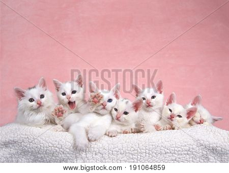 Seven fluffy white kittens laying on an off white sheepskin bed looking forward pink background. One kitten yawning and stretching looks like asking for help