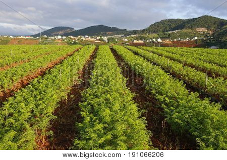 Carrots Field Rows. Farming Organic Carrots. Young Carrot