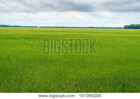 Green wheat field beautiful sky with clouds free space for text. Sunny agriculture landscape background. Wheat field with green spikelets. Macro photo of green of wheat.