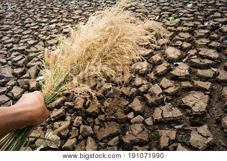 Hold hand grass flowers wither on dry ground Drought concept.