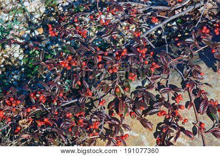 Scarlet Leader Willowleaf  Cotoneaster