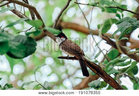 Red-whiskered bulbul,  Pycnonotus jocosus, bird, bird-thailand, bird on tree.