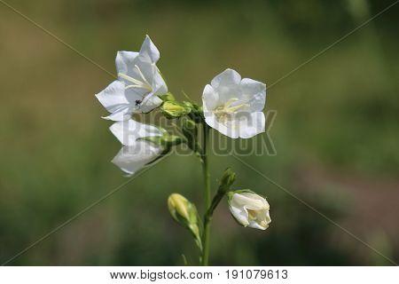 White Campanula persicifolia bloom in the garden