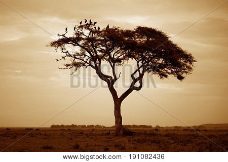 Tree in the African savannah. Amboseli national park in Kenya