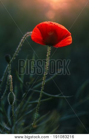 Poppy standing in a field of Canola in the Cotswolds English countryside. Glowing in warm hazy evening sunlight. Veins detail in the petals with the sun behind