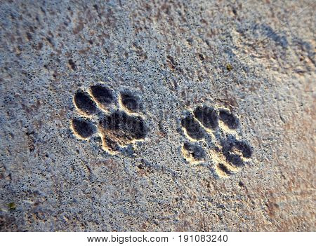 Cat tracks left on raw concrete close up