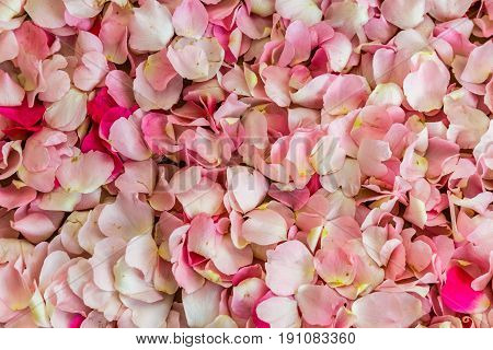 Wild rose flowers, dog-rose, eglantine, Pink rose flowers background, texture or pattern