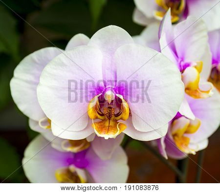 Orchids. Beautiful orchid flower arrangement with green background. Vanda orchids flowers nature.