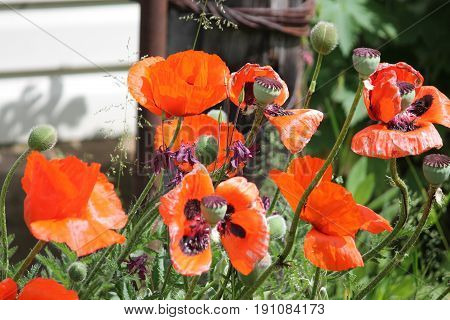 bright red color garden poppies in summer bloom