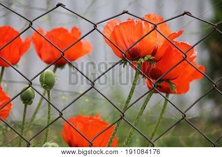 bright red garden poppies flowers in summer full bloom beautiful decoration for garden and gift
