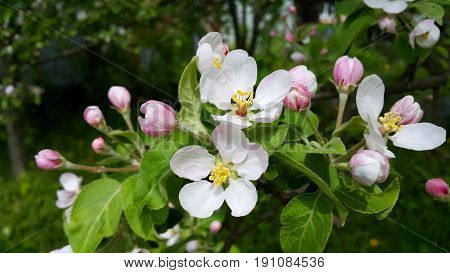 Branch of spring blooming apple tree with beautiful flowers