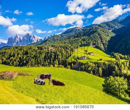 Rural pastoral in the Val de Funes, Dolomites. Warm autumn day. Well-fed cows grazes on the green slope of the mountain. The concept of ecological tourism