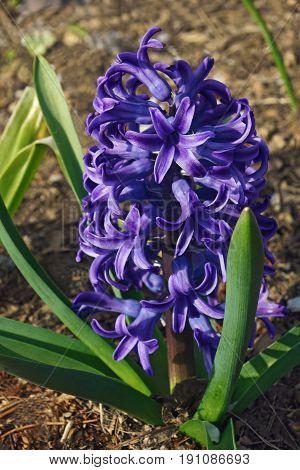 Common Hyacinthus Flower