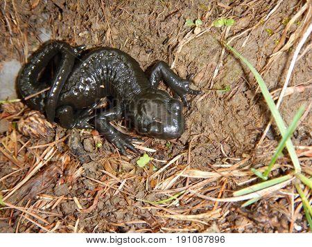 Detail Of A Small Black Salamander