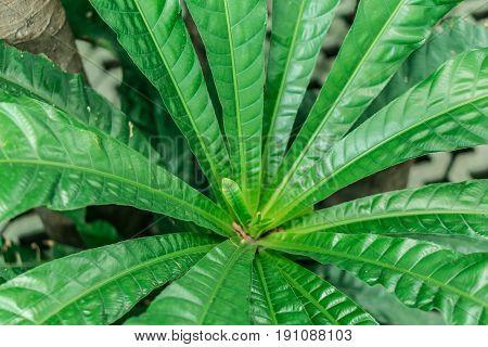 Close-up green big fresh leaf in garden