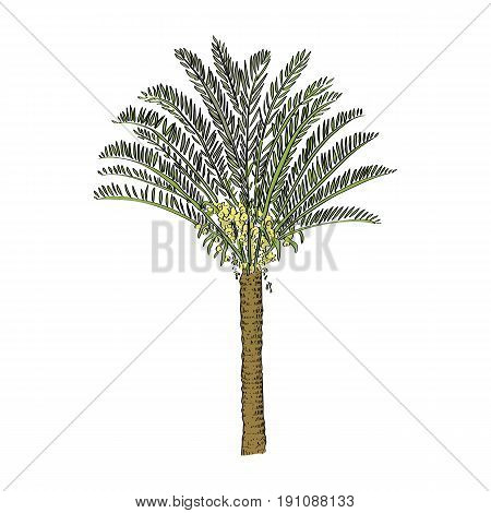 Vector Drawn Cycas Palm Tree On White Background In A Sketch Style. Exotic Collection.