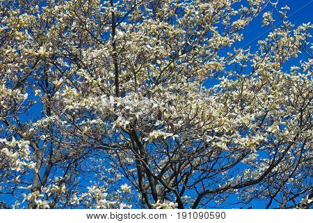 Flowering Dogwood (Cornus florida). Called American Dogwood and Eastern Dogwood also. State tree of North Carolina West Virginia Missouri and Virginia