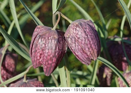 Snake's head fritillary (Fritillaria meleagris). Called Chess flower Frog-cup Guinea-hen flower Guinea flower Leper lily Lazarus bell Chequered lily Chequered daffodil and Drooping tulip also