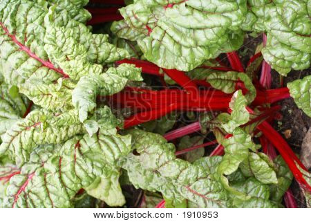 Red-Stemmed All Edible Rhubarb
