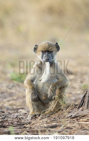 Young Chacma baboon with a Camel Thorn Acacia seed pod in its mouth Okavango Delta Botswana