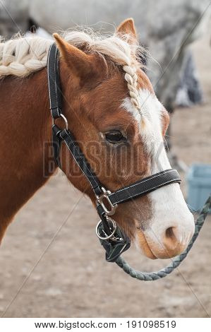 Brown Horse With Braided Mane, Close Up