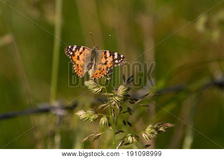 Painted Lady (cynthia Cardui) Butterfly Perched On Flower In Meadow