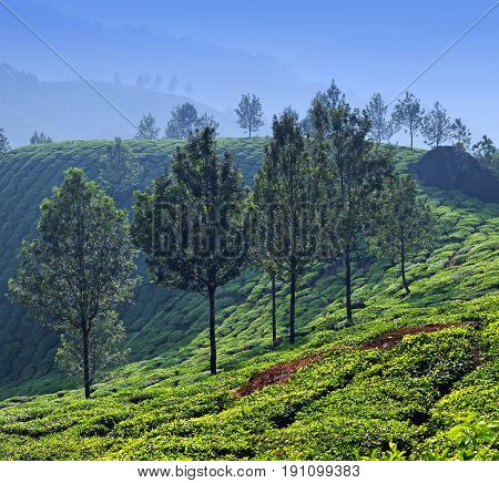 Tea plantations in Munnar, Kerala, South India. Munnar is situated at around 1600 metres above sea level in the Western Ghats range of mountains.