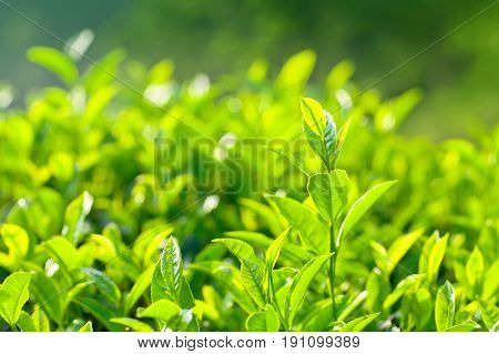 Fresh Leaves Of Green Tea Close Up On Blurred Background
